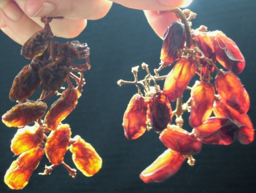 two bunches of home-dried raisins, sunlight glowing through them like stained glass