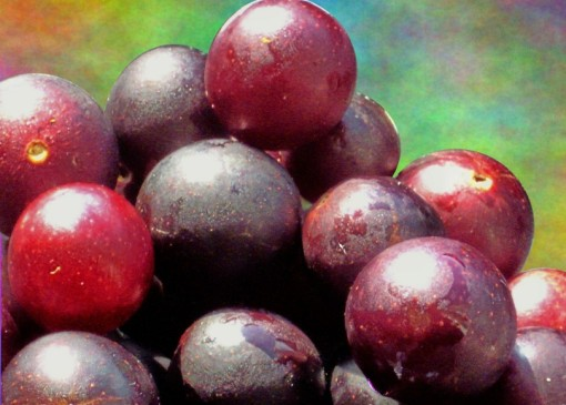 vibrant, gold-spangled muscadine grapes by nature; funky background by Photoshop*